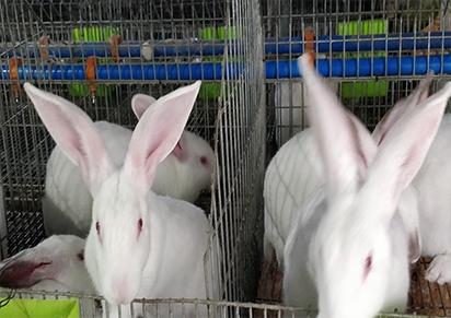 四川野兔养殖的优点、前景是什么?