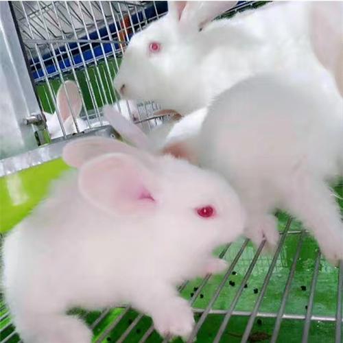 育肥兔销售